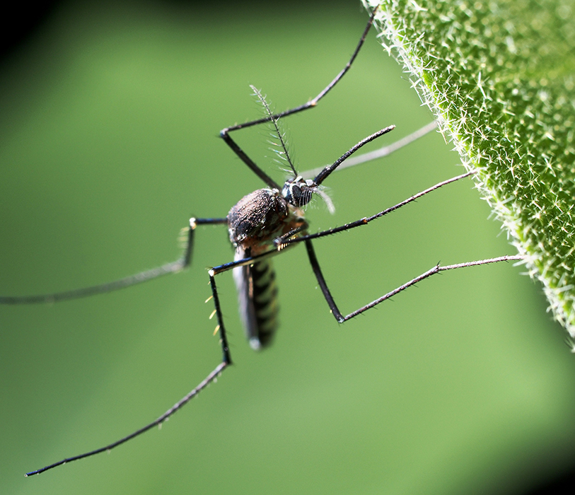Mosquitoes: Home Remedy Tips to Avoid Them